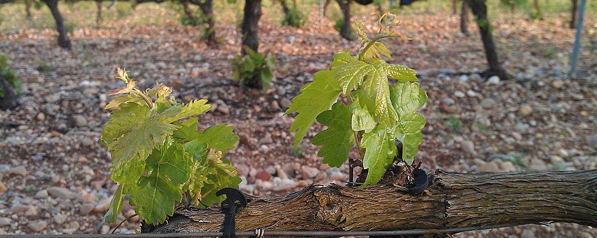 Primeros tallos y hojas de la vid