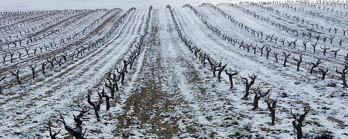 Campos de viñas helados