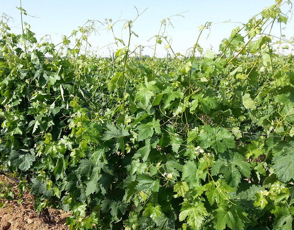 Podando las puntas de las viñas