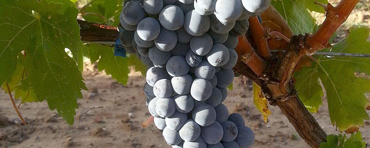 Primeros racimos de uvas