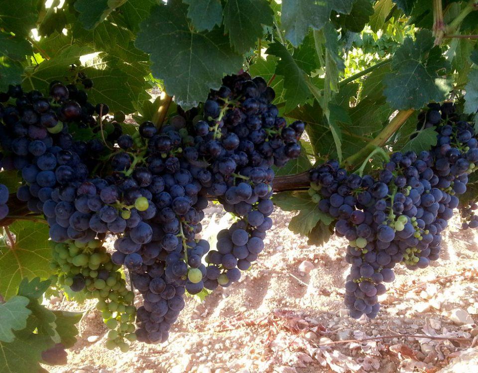 Racimos de uvas de Linaje Garsea
