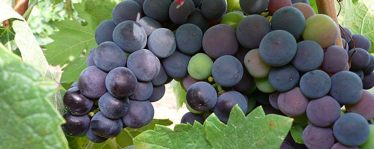 Racimo de uvas de Linaje Garsea